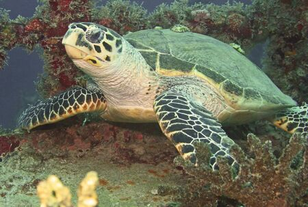 threatened: A seaturtle resting on a shipwreck