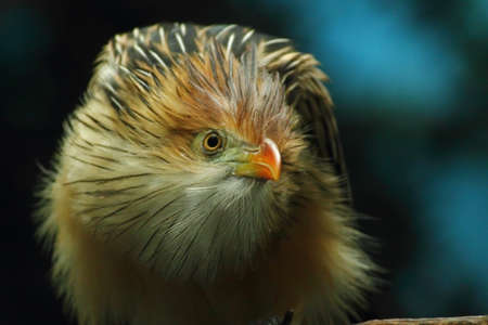 feathery: A feathery Guira cuckoo