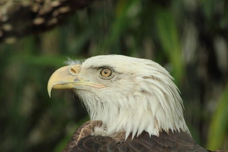 A Bald Eagle perching photo