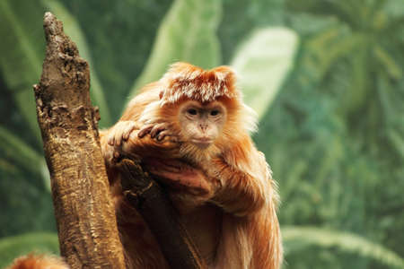 tree dweller: A monkey rests on a branch Stock Photo