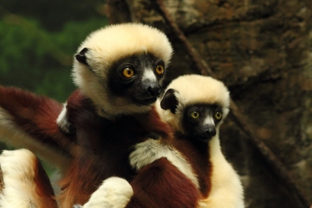 A baby Indri Lemur clings to it