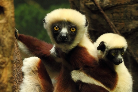 tree dweller: Mother and baby Indri Lemur Stock Photo