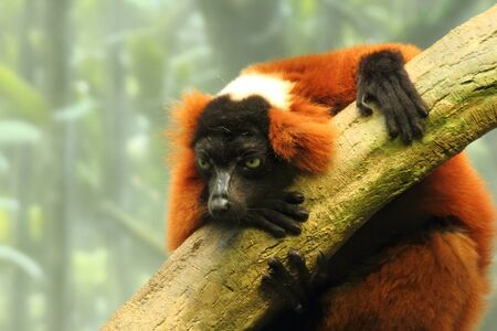 tree dweller: A red ruffed lemur clings to a tree Stock Photo