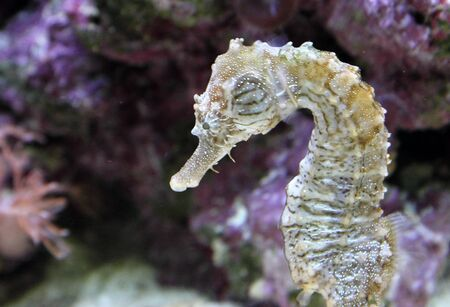 close up of a seahorse swimming along a reef Stock Photo