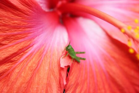 A tiny grasshopper on a red hibiscus photo