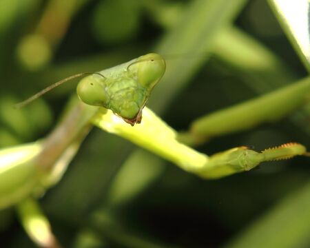 prayimg mantis looking directly at the camera with two big eyes Stock Photo - 13734902