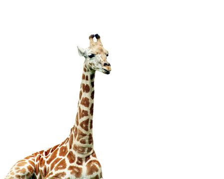 horn like: A Giraffe at rest isolated on a white background Stock Photo