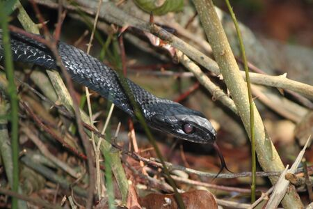 underbrush: A black snake moving through the underbrush and flicking its tongue