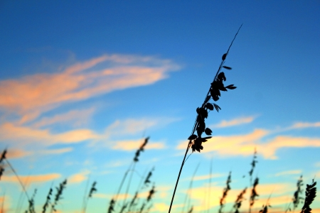 sea oats: Sea oats in the dunes along a beach silhouetted against a sunset Stock Photo