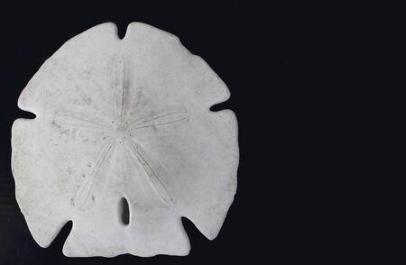 sand dollar: A Keyhole sand dollar skeleton on a black background