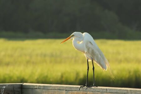 A white heron standing on a wooden railing in a salt marsh in South Carolina