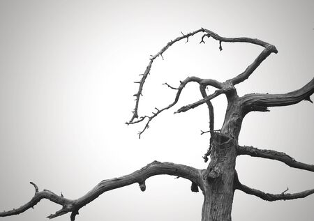 A dead and twisted tree against a gray sky  Can be used as a background photo