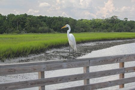 A Great White Egret perched on a wooden railing in a southern salt marsh photo