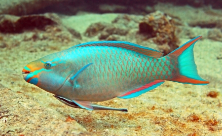 underbelly: A beautiful parrotfish swims along a tropical reef with a remora hitching a ride on its underbelly Stock Photo