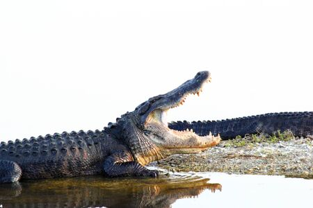legs wide open: An alligator resting with jaws wide open