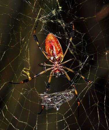 golden orb weaver: A golden silk orb-weaver spider female with smaller male in web Stock Photo