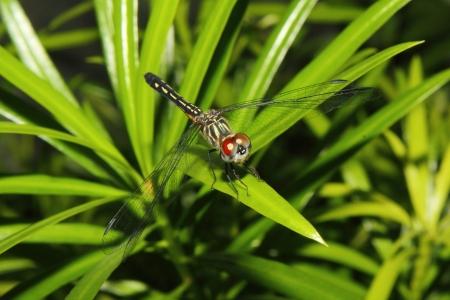 beine spreizen: A red eyed Libelle sitzt auf einem Blatt mit Flügeln pread breite