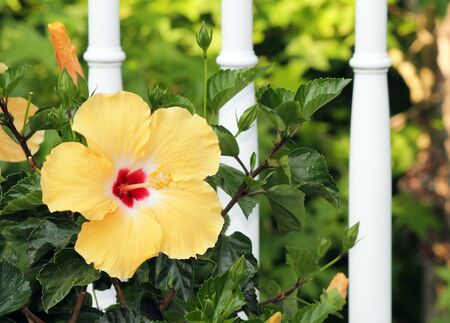 spindles: A yellow hibiscus in full bloom against white fence spindles in a garden