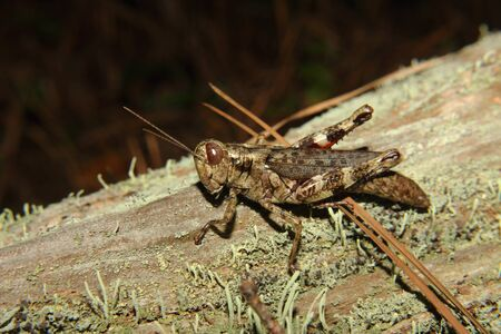 compound eyes: A brown grasshopper on a mossy log