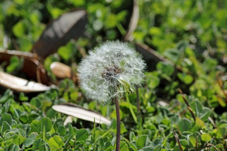 pappus: A Dandelion seed head grows out of the ground