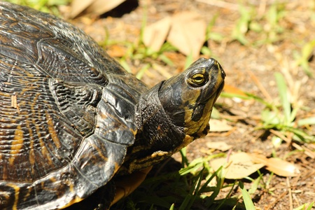 plastron: A Yellow bellied sliderturtle warms in the sun. Stock Photo