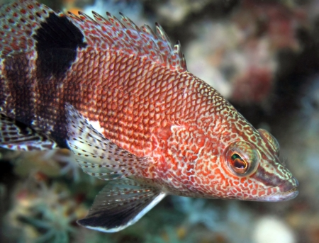 gills: A beautiful and intricately patterned Belted Sandfish