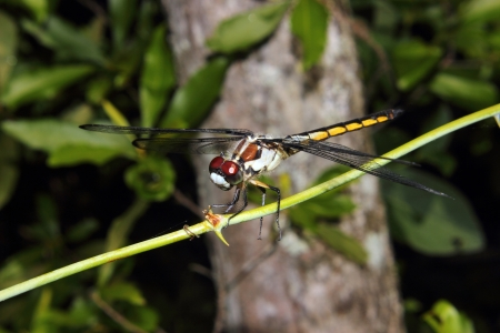 anisoptera: A beautiful and brightly colored Dragonfly perches on a branch.