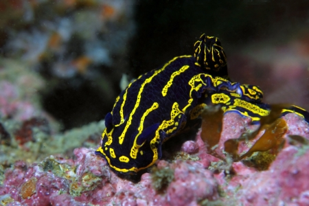 A beautiful and brightly colored Regal Sea Goddes nudibranch Фото со стока