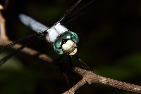 compound eyes: A blue dragonfly with jewel like compound eyes rests on a branch
