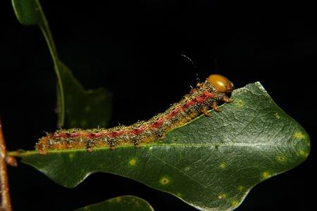 segmented bodies: a caterpillar chews on a leaf