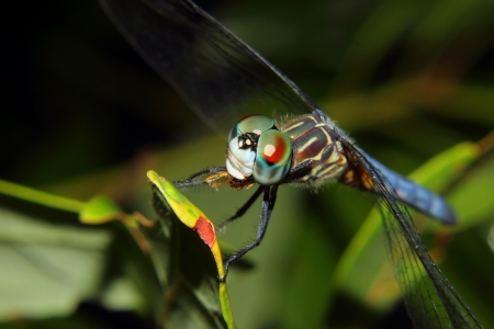 compound eyes: A blue dragonfly with jewel like compound eyes rests on a branch while feeding on a small insect  Stock Photo