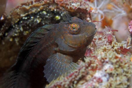 A Hairy blenny rests on a shipwreck