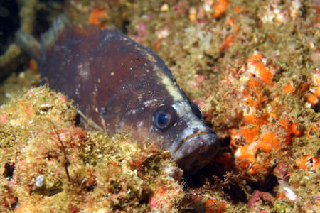 A White Spotted Soapfish hides in a crevice Reklamní fotografie