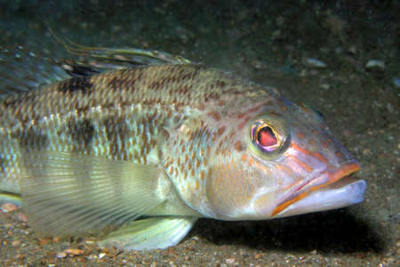 A Sea Bass rests on a sandy bottom photo