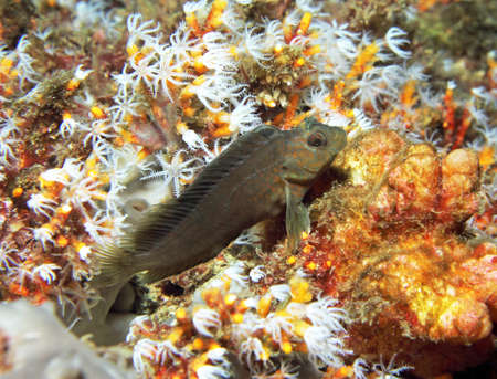 A tiny Blenny rests on a bed of soft coral