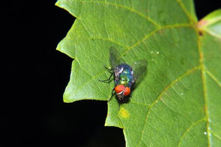 mettalic: A shiny, colorful,  and mettalic looking bottle fly