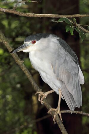 A Black Crowned Night Heron perches upon a branch in a coastal wetland  photo