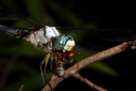 anisoptera: Close up of a Blue Dragonfly feeding on a black leaf bug