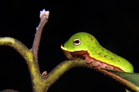 緑のヘビを模倣した Spicebush アゲハ幼虫