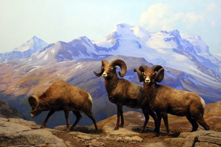 A diorama of Big Horn Sheep displayed at the American Museum of Natural History in New York City