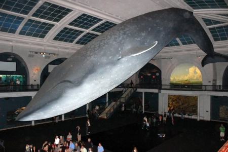 The huge model of a Blue Whale hangs from the cieling of the American Museum of Natural History Editorial