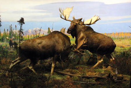 A diorama of two battling Moose displayed at the American Museum of Natural History in New York City.