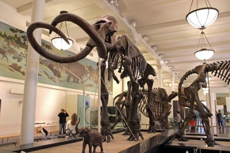 Display of a Mammoth skeleton at the American Museum of Natural History in New York City. Редакционное
