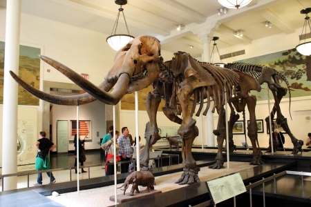 fossilized: The assembled fossilized remains of a Mastodon is displayed at the American Museum of Natural History in New York City.