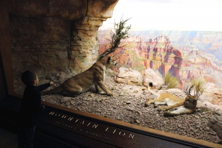 diorama: A small boy excitedly points to the Mountain Lions displayed in a diorama at the American Museum of Natural History.
