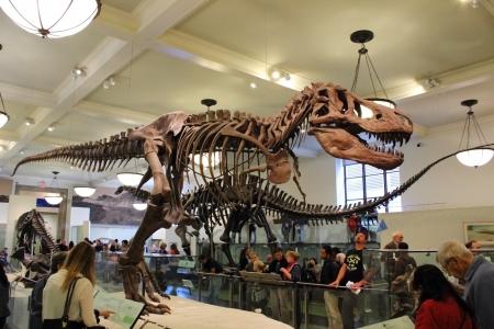 De verzamelde fossiele overblijfselen van een Tyrannosaurus rex wordt getoond bij het American Museum of Natural History in New York.