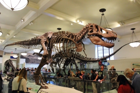 The assembled fossilized remains of a Tyrannosaurus rex is displayed at the American Museum of Natural History in New York City.
