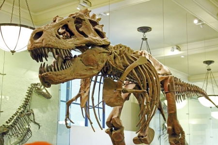 exhibit: The assembled fossilized remains of a Tyrannosaurus rex is displayed at the American Museum of Natural History in New York City.