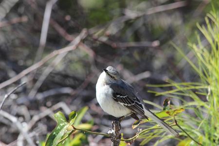 mockingbird: An inquisitive Mockingbird perches atop a small tree
