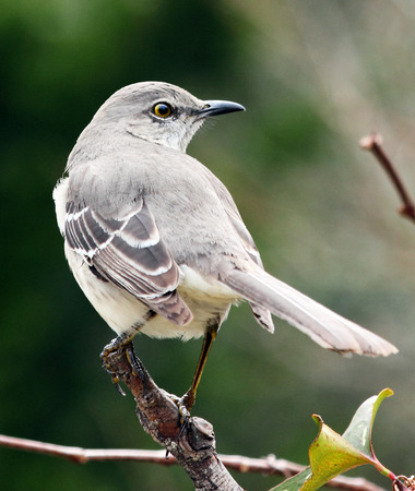 A Northern Mockingbird perches upon a small tree. Stock Photo